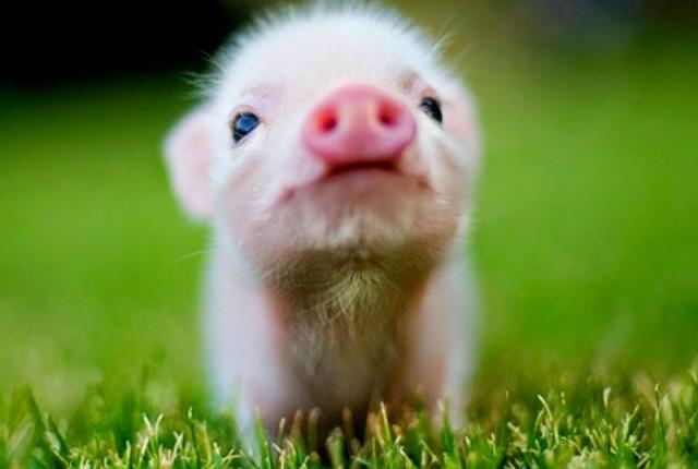 Onde comprar apenas cosméticos veganos naturais porquinho